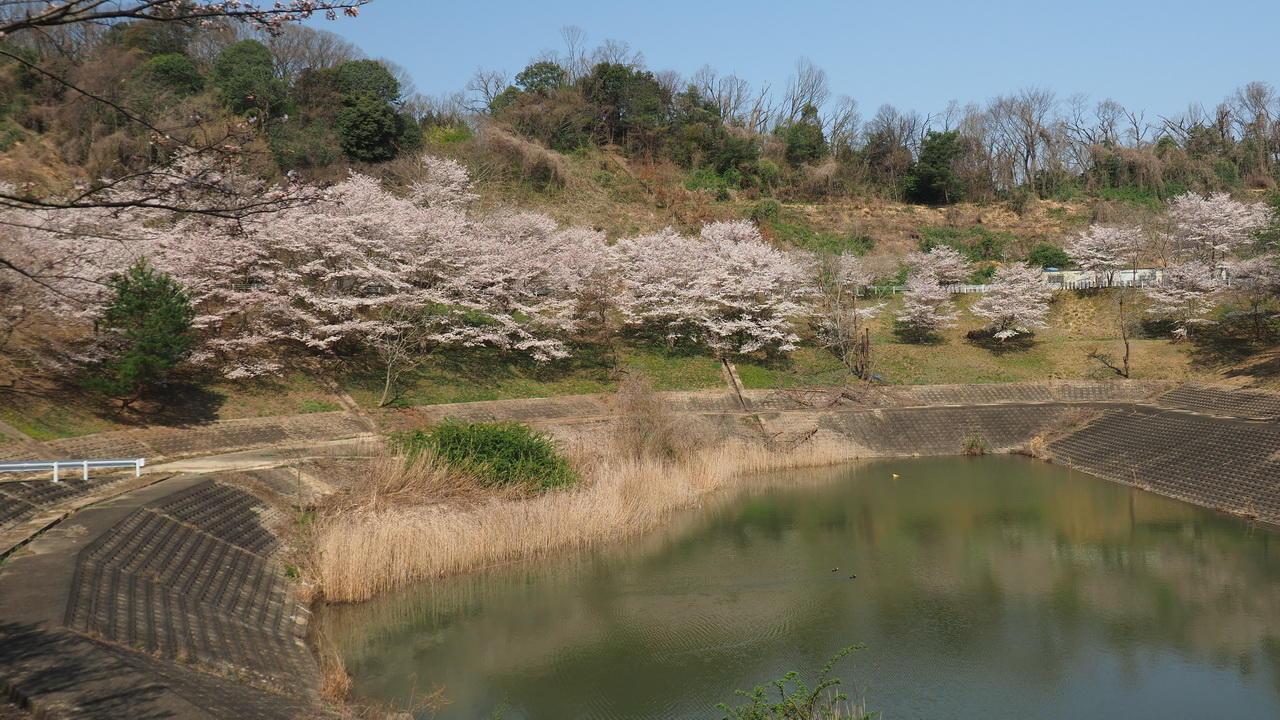 cherry_blossom4.JPG