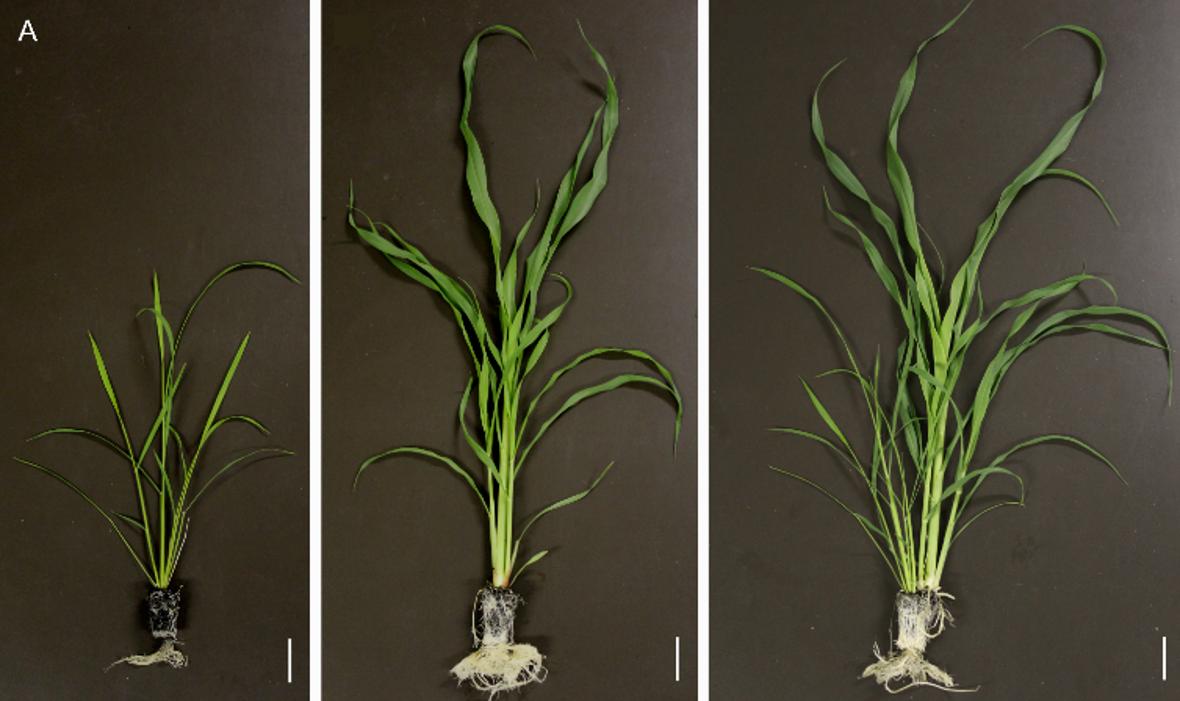 接触混植による畑作物の洪水耐性の強化. 左 イネ単植、中央 パールミレット単植、右 イネ/パ-ルミレット混植