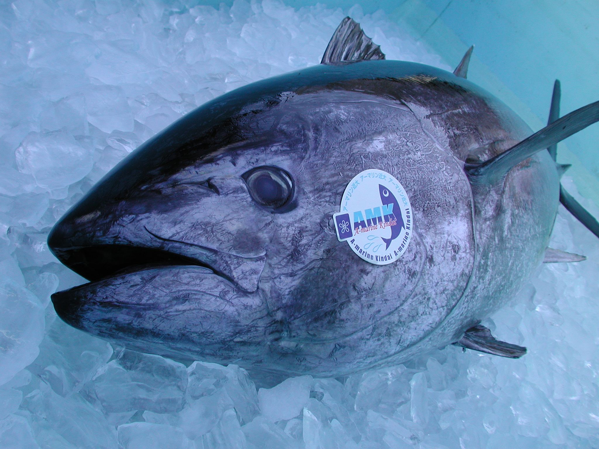Bringing Farm-Raised Pacific Bluefin Tuna to Market