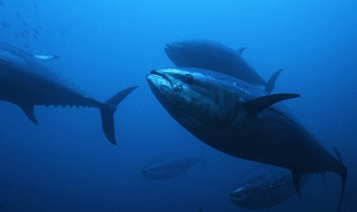 Kinki University of Japan First Successfully farmed Already-Hatched Bluefin Tuna (Source: The Guardian)