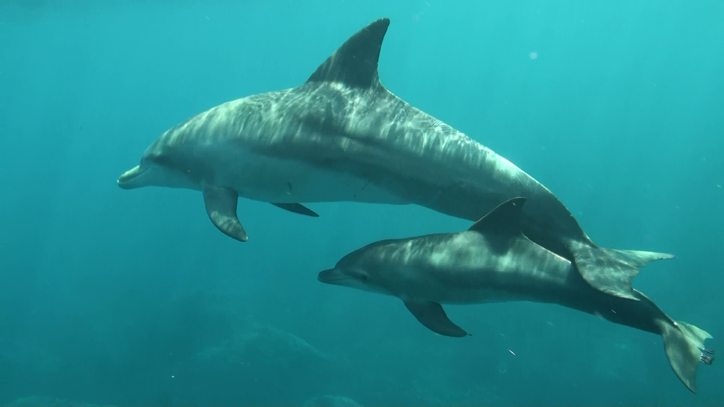 Dolphin displays willingness to help others, researchers say(Source:The Asahi Shimbun)