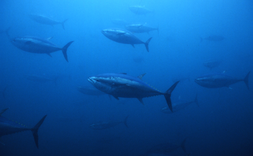 Putting Bluefin Tuna Back on the Menu - by Farming Them (Source:Gemini)