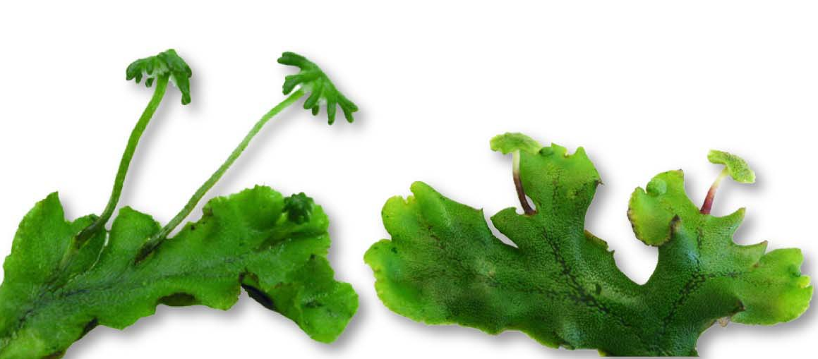 Insights into Land Plant Evolution Garnered from the Marchantia polymorpha Genome