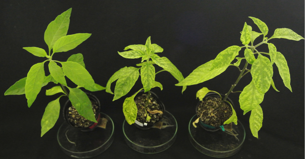 Identified Begomovirus Resistance Gene in Pepper. Possible solution for global problems: Reduction of damage by plant viruses -- Kindai University
