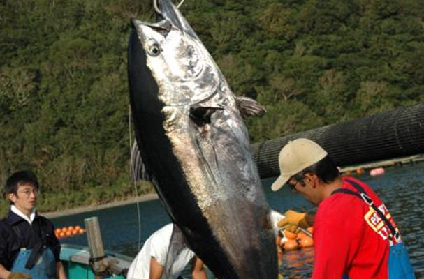 The World's First Farm-raised Bluefin Tuna
