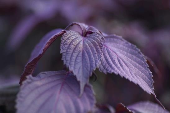 近畿大学×CAMPFIRE クラウドファンディング第2弾 絶滅寸前の「紀州在来薬用紫蘇」を守りたい