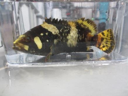 タマカイの親魚養成試験を開始 完全養殖による資源保護と新たな交雑種の作出を目指す 水産研究所奄美実験場