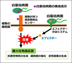 世界初!「白葉枯病菌」が増殖する仕組みを解明(近畿大学農学部)