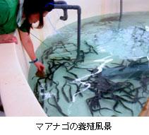 近大養殖マアナゴを富山大附属病院へ提供