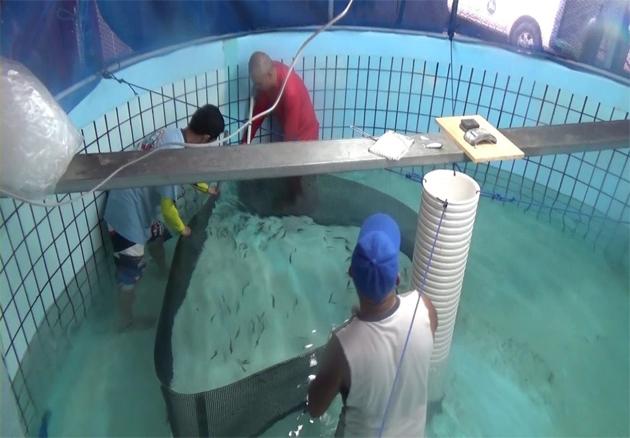 キハダ稚魚の海面生簀での飼育成功 近畿大学 科学技術振興機構(JST) 国際協力機構(JICA)