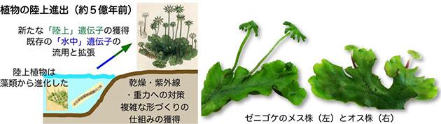 陸上植物の祖先の特徴をもつ苔類ゼニゴケの全ゲノム構造を解明