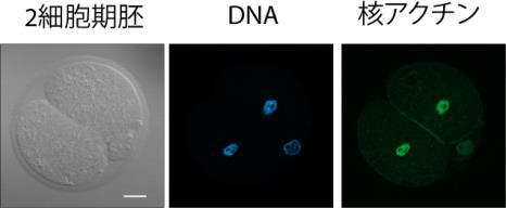 細胞核をつくりあげるカギとなる因子の発見 生命活動を支える細胞核形成の仕組みを解明