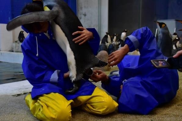 アドベンチャーワールド×生物理工学部 バンドウイルカとキングペンギンの人工授精へ向けた共同研究がスタート 精子を凍結させる保存液の開発と使用技術の確立を目指す