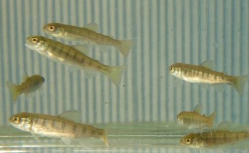 「熊野川きらきら清流まつり」でアマゴ稚魚を放流 新宮実験場で人工ふ化・飼育されたアマゴ