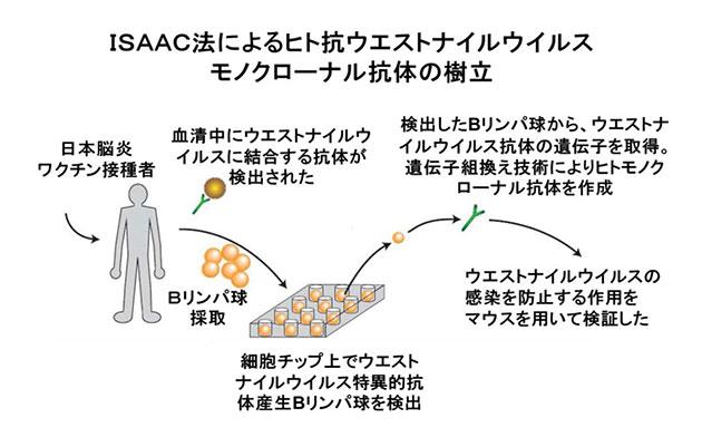 日本脳炎ワクチンを接種した人からウエストナイルウイルス感染症の予防・治療への応用が期待できるヒト型抗体を樹立