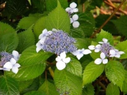 薬用植物園見学会・特別講演「アマチャ」と「アジサイ」開催 植物学や薬学の知識をもっと身近に