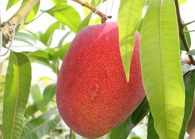 マンゴーの葉に皮膚の老化防止作用を発見 廃棄されているマンゴーの葉の有効活用に期待