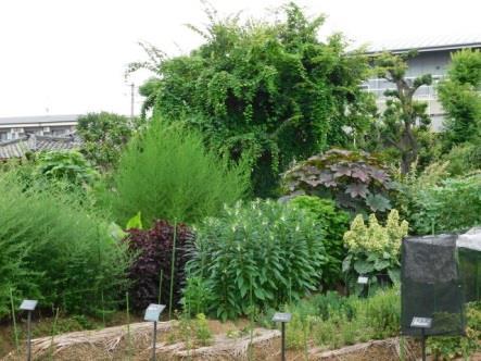 第4回 薬用植物園見学会を開催 「くすり」に使う身近な植物の標本を作ろう