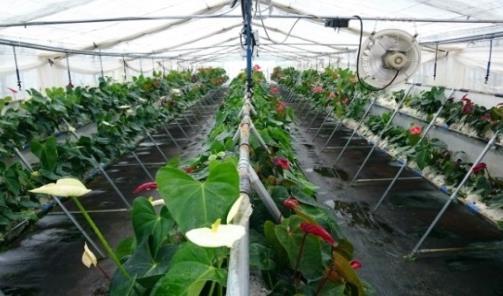 福島県川俣町の新設ビニールハウスにてアンスリウム定植体験 農学部の学生と川俣町の小学生らが参加
