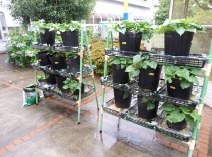 半水耕栽培サツマイモの収穫授業
