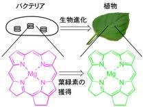 植物の祖先の色素をタンパク質に結合した状態で葉緑素に変換することに成功~光合成生物の増産に期待~