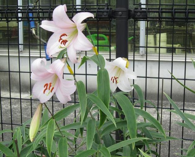 「三枝祭(別名:ゆりまつり)」に組織培養したササユリを展示 ササユリ香水の試供も実施