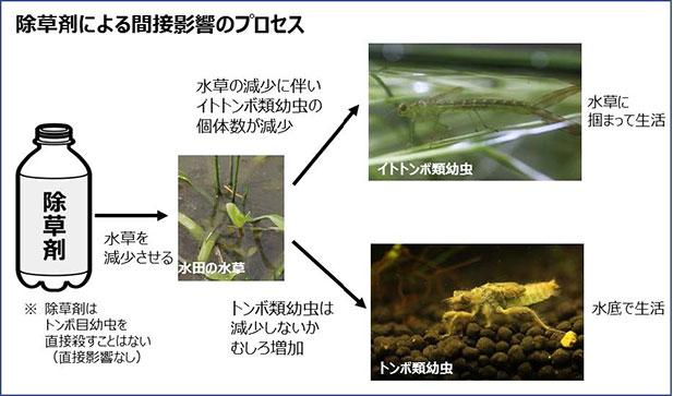 除草剤がイトトンボ幼虫の個体数を減少させることを実証 農薬リスクを高精度に予測し、より良い使用法が選択可能に