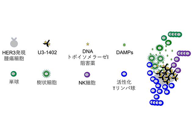 開発中の薬剤と既存薬の併用でがん細胞を攻撃する 免疫システムの活性化を非臨床試験で確認