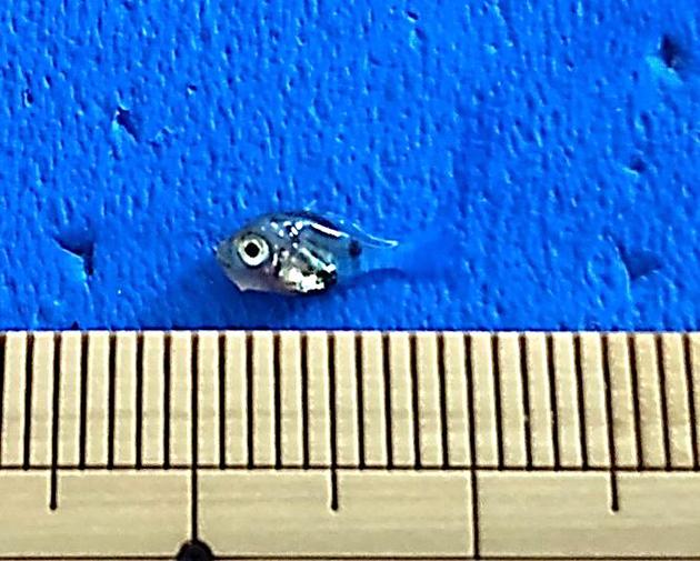 近畿大学水産研究所の指導のもと 高校生が高級魚ノドグロの人工授精・人工ふ化飼育に成功
