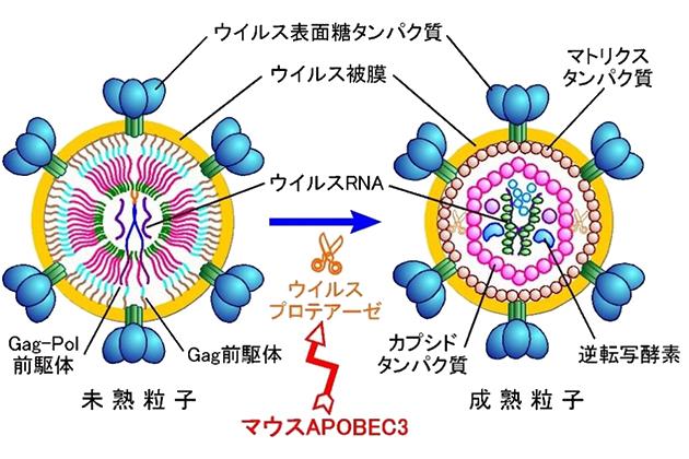 がんやエイズの原因となる「レトロウイルス」の働きを阻害する 新しい仕組みを世界で初めて解明