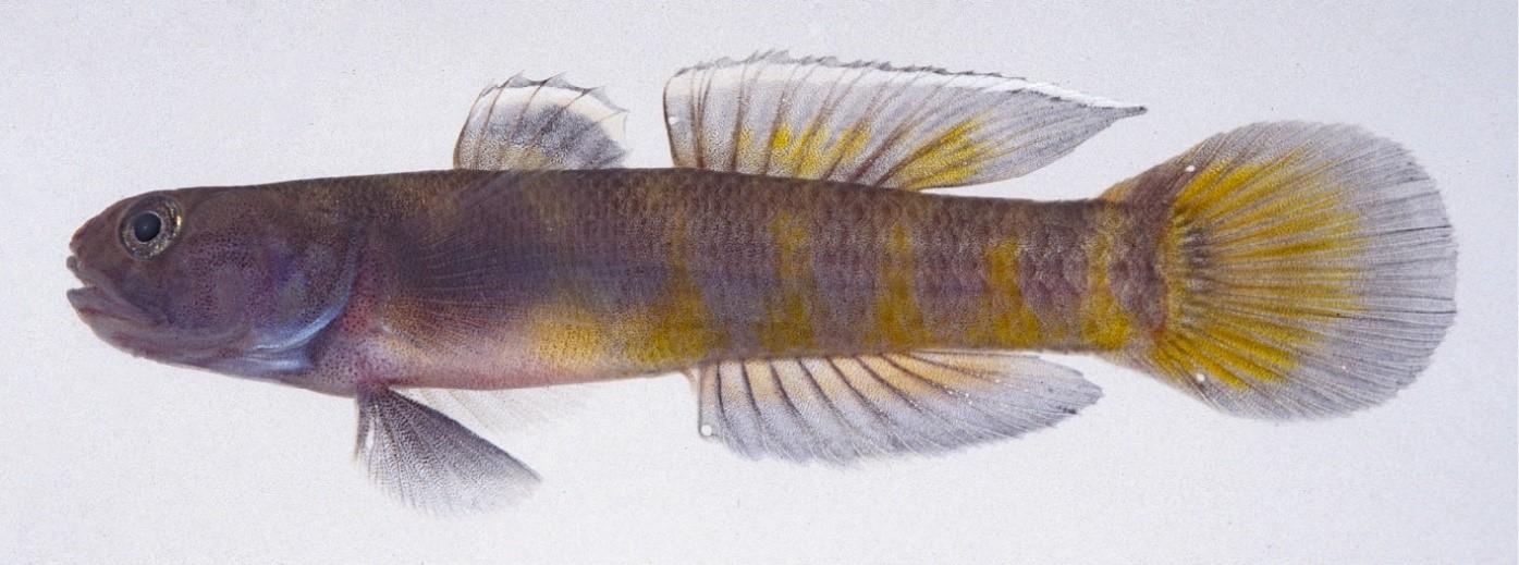 日本初記録のハゼ科魚類を大学院生が発見 体の虎柄模様に因み「トラハゼ」と命名