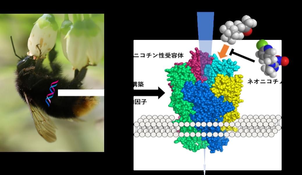 ネオニコチノイド系殺虫剤に対するハナバチ類の感受性を解明 環境に優しい農薬や昆虫制御材の開発に期待