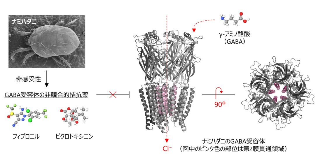 難防除害虫のナミハダニの薬剤感受性を決定する GABA受容体の一次構造を解明