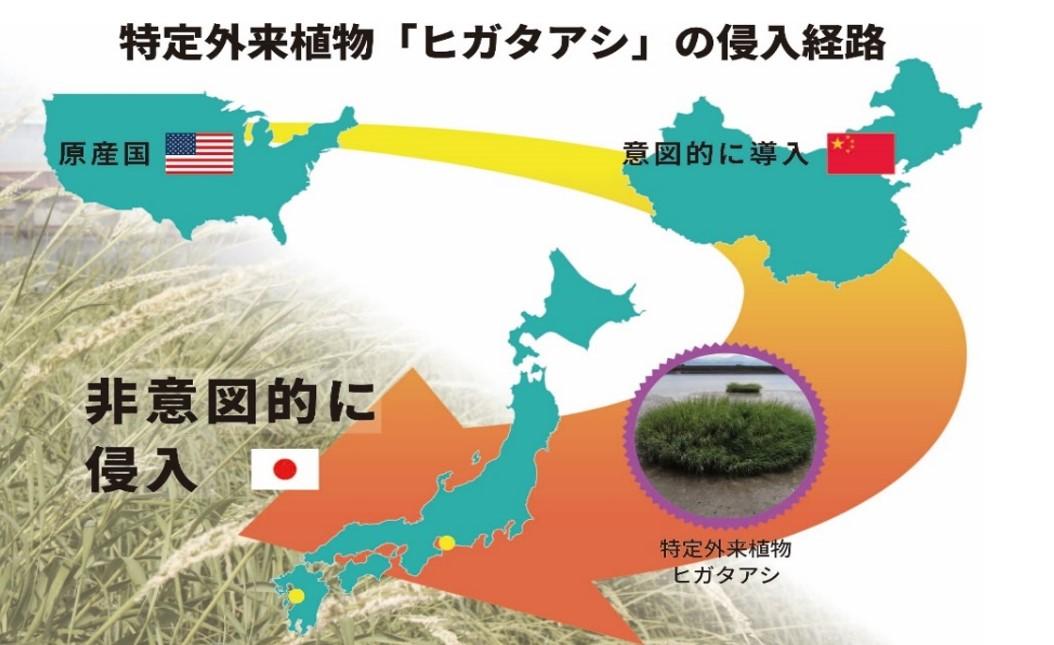 特定外来植物「ヒガタアシ」の日本への侵入経路を解明 原産地の北米東部から中国を経由した二次的な経路で侵入