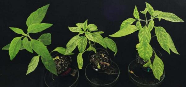 世界初!トウガラシのベゴモウイルス抵抗性遺伝子を特定 世界中で問題となっている農作物のウイルス病被害低減に繋がる成果