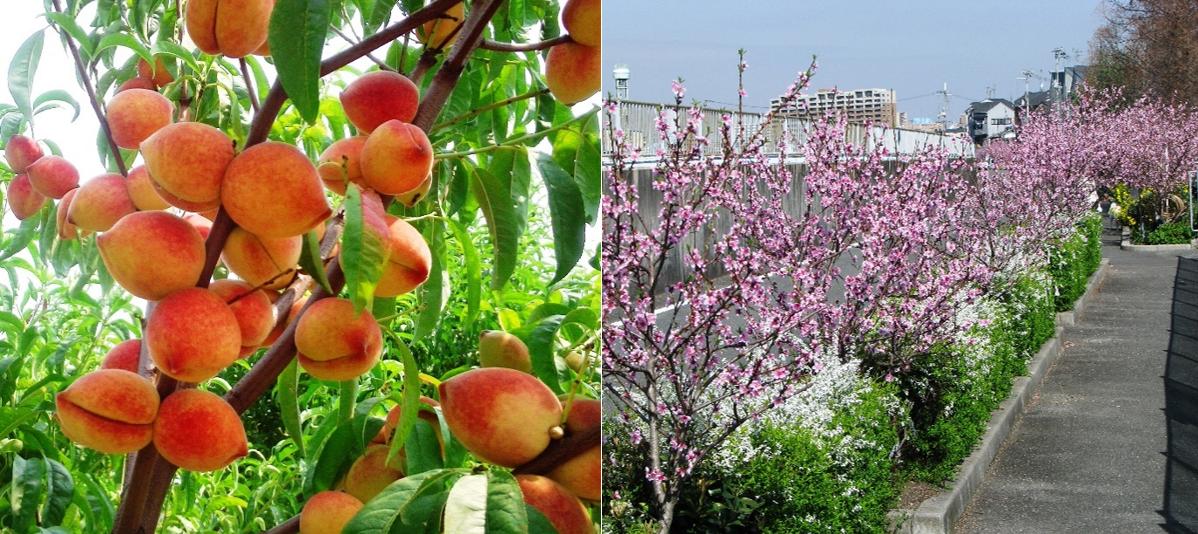 農学部学生考案の「桃パイ」を入院中の子供たちに提供 東大阪市稲田地区の幻の名産品「稲田桃」を使用