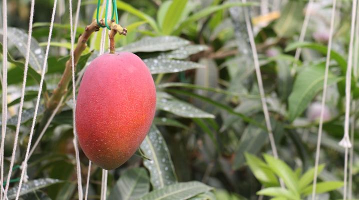 附属湯浅農場で栽培した「近大マンゴー」を病院食として提供 近大奈良病院の食事満足度向上をめざして