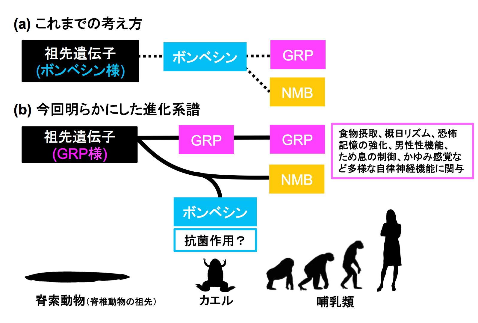 ご先祖様だと信じてきたもの、実は叔母のような関係? カエル抗菌ペプチド「ボンベシン」と哺乳類神経ペプチド「ガストリン放出ペプチド」とは異なる進化系譜だった