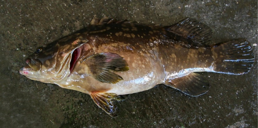 陸上養殖したクエタマをみなべ町漁業生産組合が初出荷 地域産業活性のため近畿大学水産研究所が技術支援