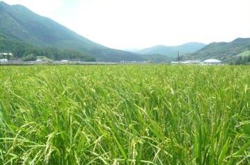 中学生が熊野川町で稲刈りを体験 地域の文化や自然を学ぶ「ふるさと教育」を実施 附属新宮中学校