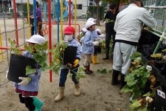 サツマイモポット鉢栽培の苗植付けと栽培授業開催 福島県川俣町の保育園・幼稚園・小学校にて