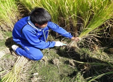 稲作実習で稲刈りを体験 「食事への感謝の心」を育む、中学1年生の総合学習
