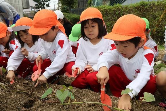 園児が植えたサツマイモの収穫体験 自然や食べ物への興味・関心を高める