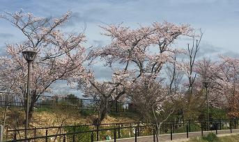 小学校で満開の桜を鑑賞 「桜の校庭開放」で地域住民が春の訪れを感じる機会に