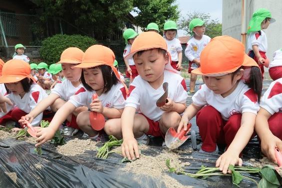 園児によるサツマイモの苗植え体験 自然や食べ物への興味・関心を高める