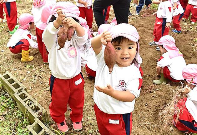 たくさん採れるかな?園児のサツマイモ収穫体験 自然への興味、食べ物への感謝の気持ちを育む