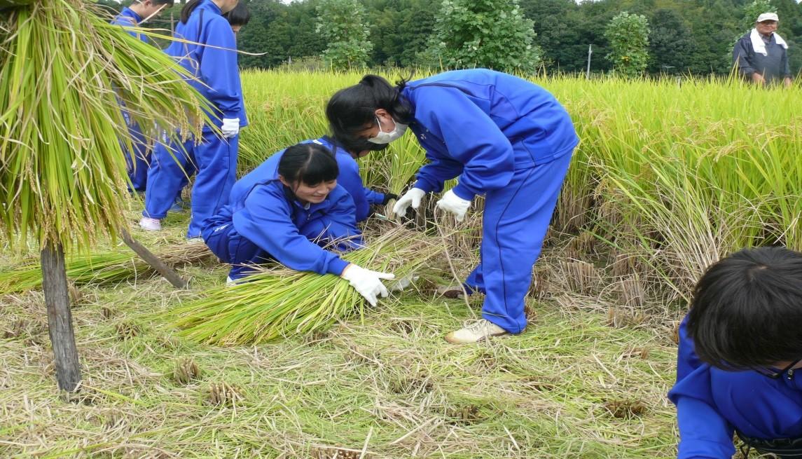 中学生が稲作実習で稲刈りを体験 地域とのつながり、感謝の気持ちを育てる総合学習