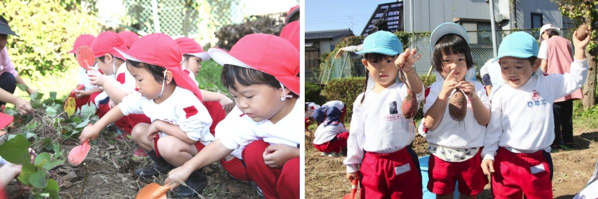 園児のサツマイモ収穫体験を実施 自然への興味、食べ物への感謝の気持ちを育む