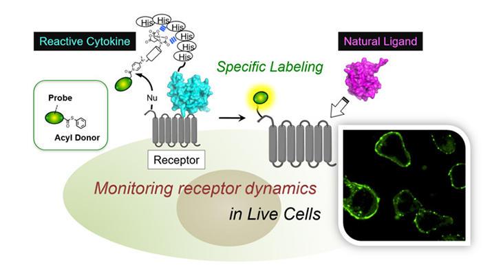 生細胞で内在的に発現する細胞膜受容体の新規ラベル法を開発